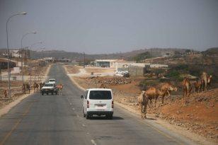 Kamele nahe Salalah im Südoman. Foto: Oliver Heider