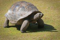 Schildkröte auf Curieuse. Foto: Oliver Heider