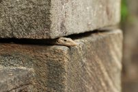 Echse in Polnnaruwa. Foto: Oliver Heider