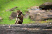 Affe im Gal Viharaya. Foto: Oliver Heider