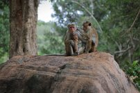 Affen im Gal Viharaya. Foto: Oliver Heider