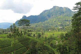 Teeplantagen. Foto: Oliver Heider