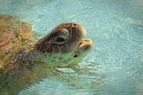 Eine Schildkröte auf der Turtle Farm auf Grand Cayman. Foto: Oliver Heider