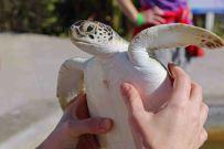 Schildkröten müssen auf der Turlte Farm viel aushalten. Foto: Oliver Heider
